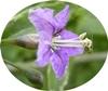 https://plantum.ro/img/cms/800px-LyciumBarbarum-bloem-hr%20(1)_2.jpg