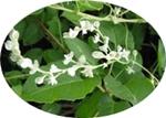 https://plantum.ro/img/cms/Polygonum_multiflorum.jpg