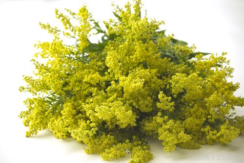 sanziene-floare-plantum-ro