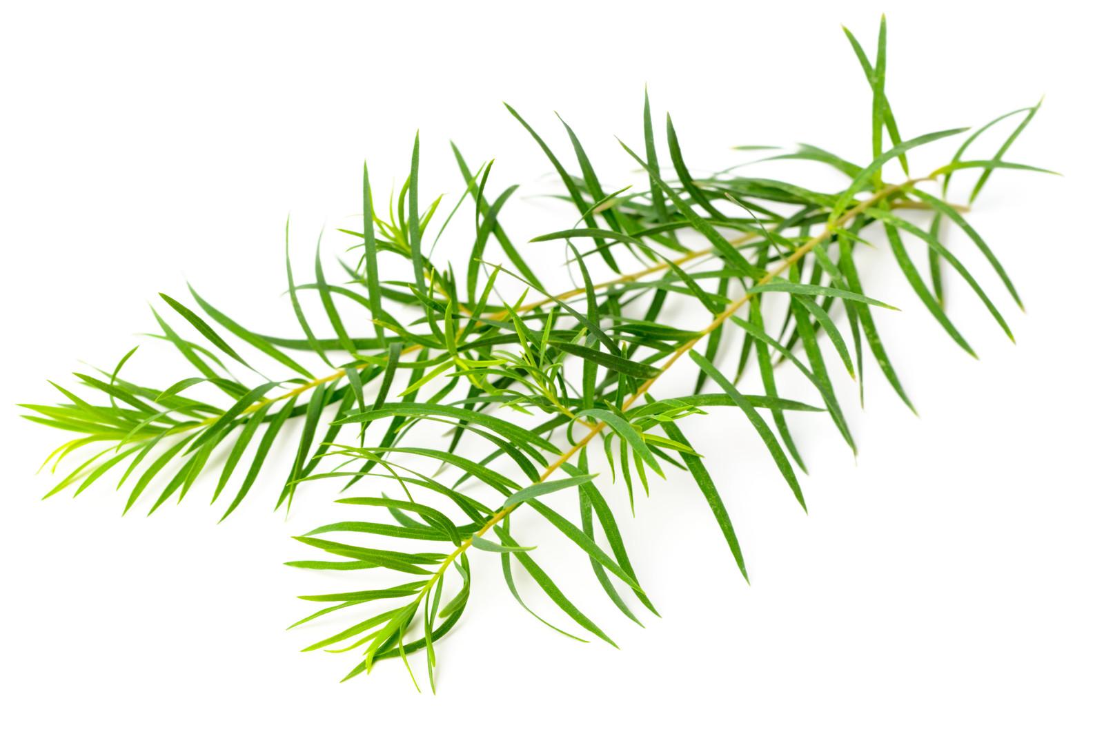 tea-tree-plantum-ro