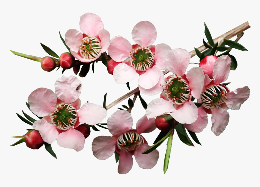 floare-de-manuka-plantum-ro
