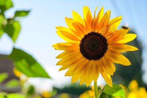 floarea-soarelui-plantum-ro