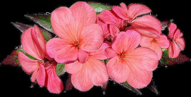 muscata-plantum-ro