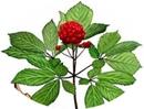 https://plantum.ro/img/cms/ginseng-rosu.jpg