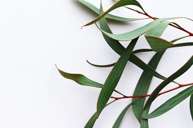 eucalipt-frunze-plantum-ro