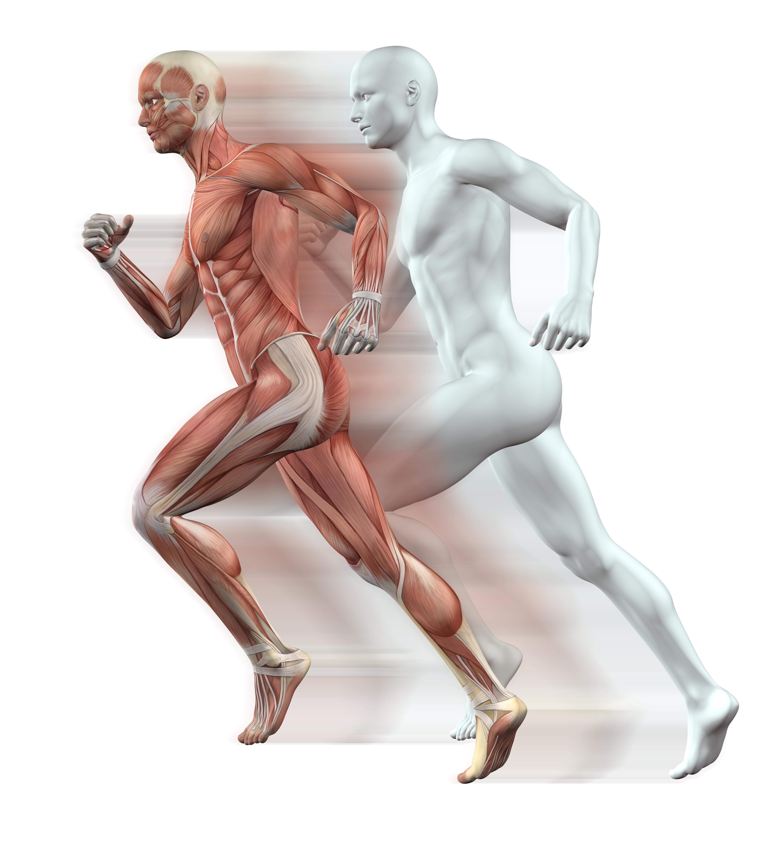 human-muscles.jpg