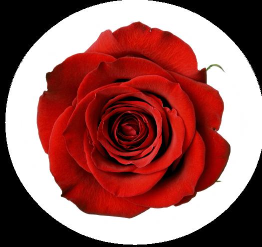 trandafir-rosu-plantum-ro